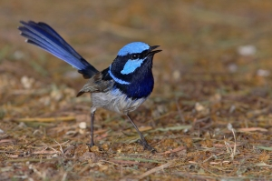 Superb Fairy-wren (Photo: Chris Tzaros)